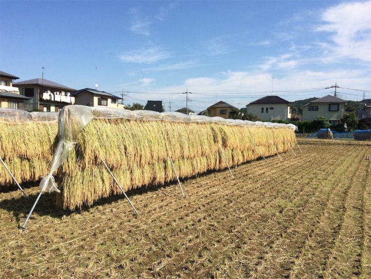 月夜の下でハゼ掛け~玄米も生薬?!