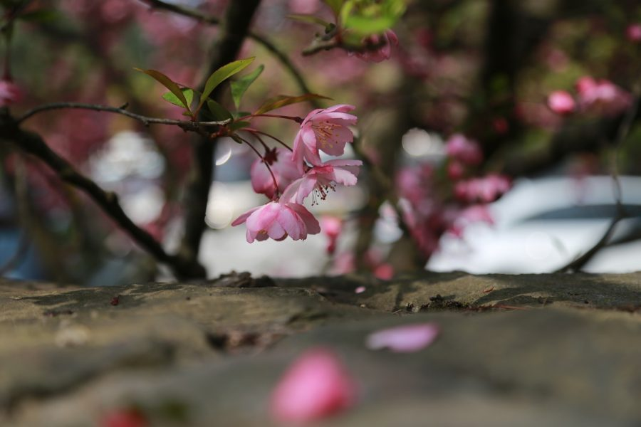 大神神社の鎮花くすり~桜①